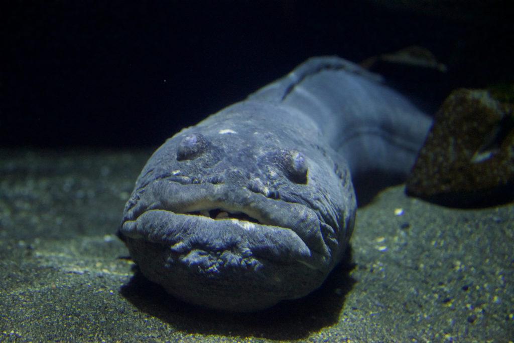 Giant Wrymouth